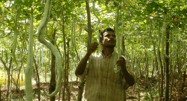 Sri Lankan farmer looking at Snake Gourds